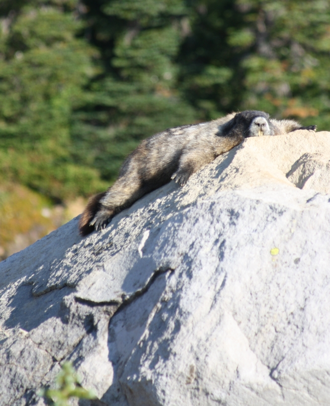 Marmot, Mount Rainier National Park, WA