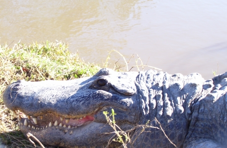 Alligator, Orange, TX