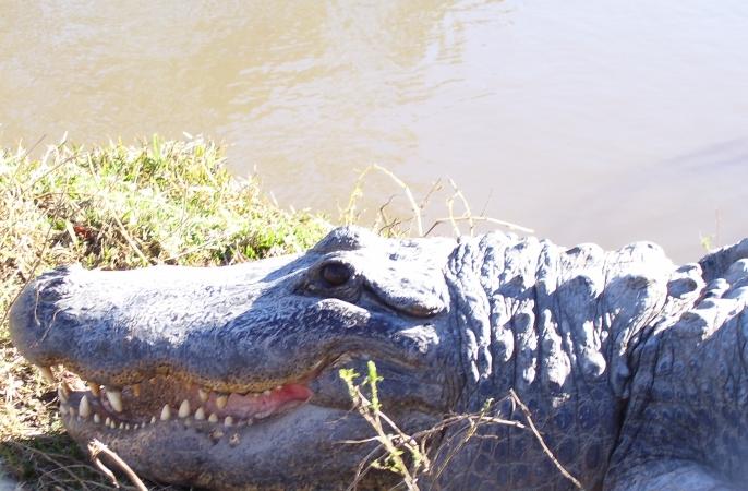 An alligator in Orange, TX