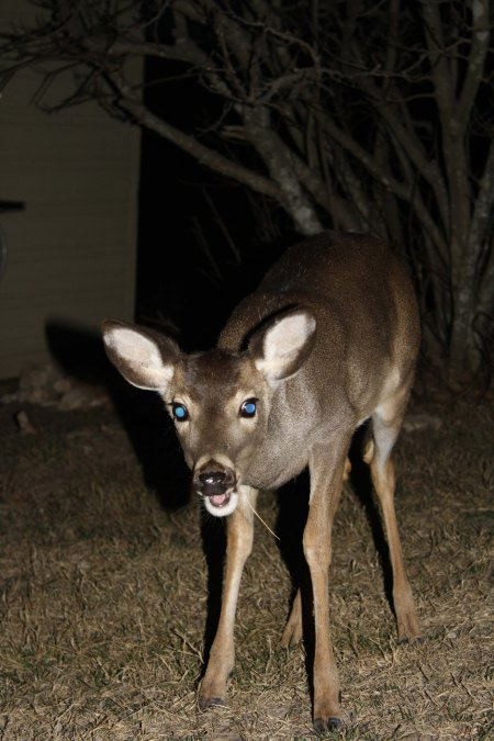 A small whitetail deer in Pipe Creek, TX