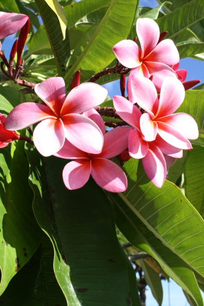Pink Plumeria, digital photography, prices starting at $25.00