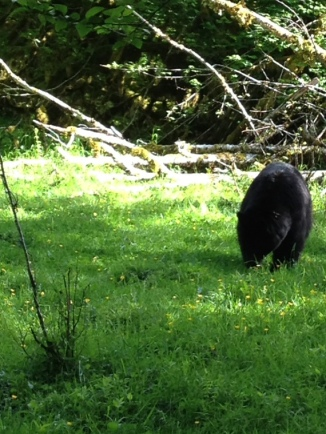 Black bear, Olympic National Park, WA