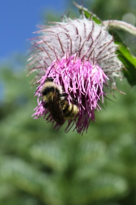 Bee on Thistle, digital photography, prices starting at $25.00