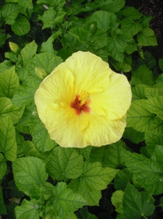 Hibiscus, digital photography, prices starting at $25.00
