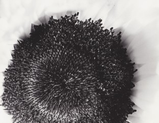 Sunflower, traditional B&W photography, $45.00