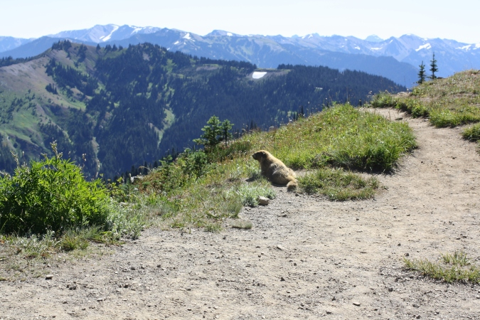 A marmot enjoying the view of the Olympic mountains