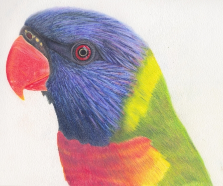 Lorikeet, colored pencil, $45.00