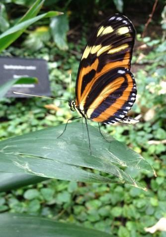 Butterfly, Moody Gardens, Galveston, TX