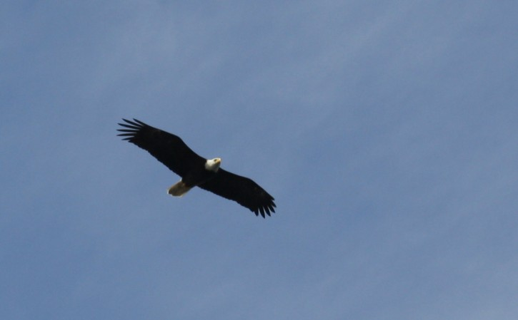 A bald eagle flying over Shark Reef Sanctuary, Lopez Island, WA