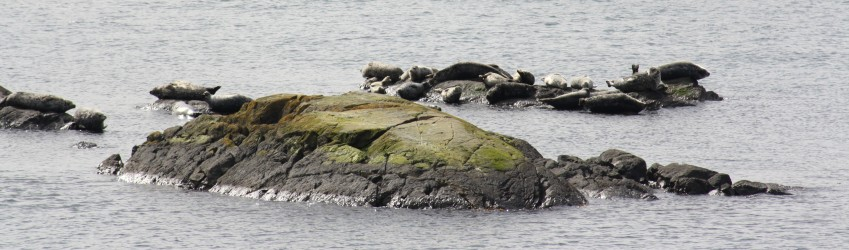 Harbor seals 2