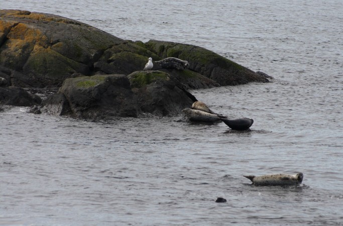 Harbor seals near Shark Reef Sanctuary, Lopez Island, WA