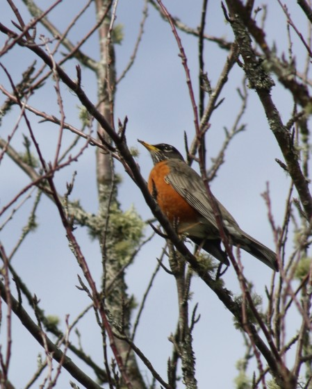 A robin along the trail on Lopez Island, WA