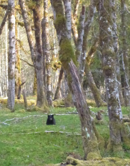Black bear cub in Enchanted Valley, Olympic National Park