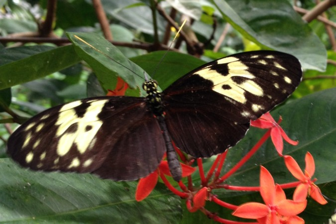 Butterfly at Moody Gardens in Galveston, TX
