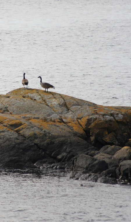 Canadian geese at Shark Reef Sanctuary, Lopez Island, WA