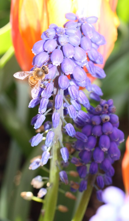 A bee resting on a flower at Roozengaarde, Skagit Valley, WA