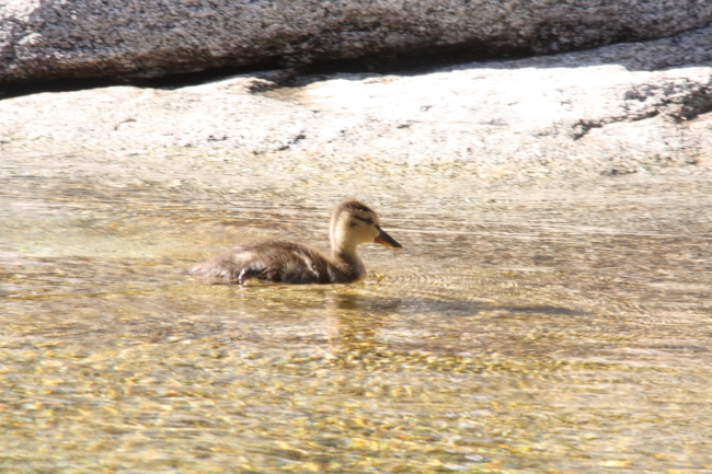 A duckling in the Merced River, Yosemite National Park, CA