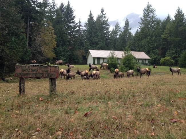 An elk herd along Dosewallips Road before the washout