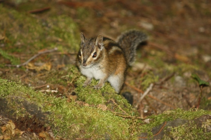 Ground squirrell, North Cascades National Park, WA