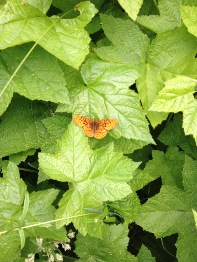A butterfly along the North Fork Skokomish River, Olympic National Park, WA