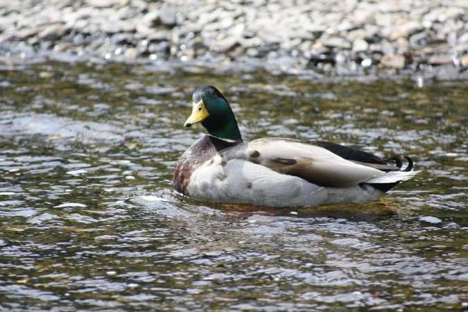 A duck in Upper Lake, Glendalough Valley, Wicklow Mountains National Park, Ireland