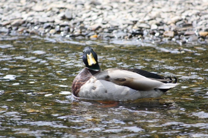 A curious duck at Upper Lake in the Glendalough Valley, Wicklow Mountains National Park, Ireland