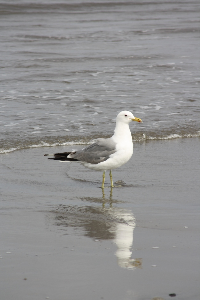 A seagull on the beach at Fort Stevens State Park, Oregon
