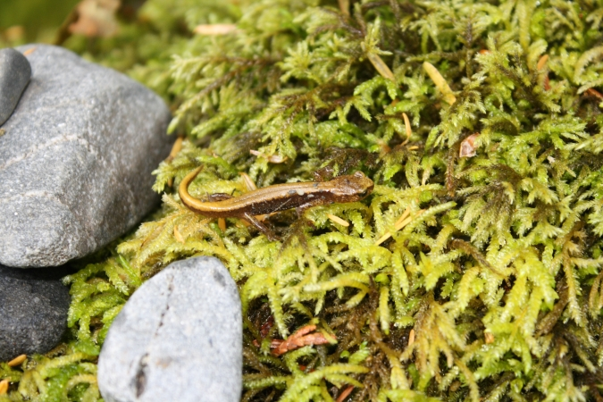 A salamander blending into its environment, Staircase, Olympic National Park, WA