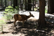 Deer, Little Yosemite Valley, Yosemite National Park, CA