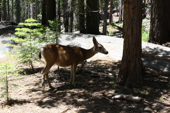 A deer resting in the shade, Little Yosemite Valley, Yosemite National Park, CA