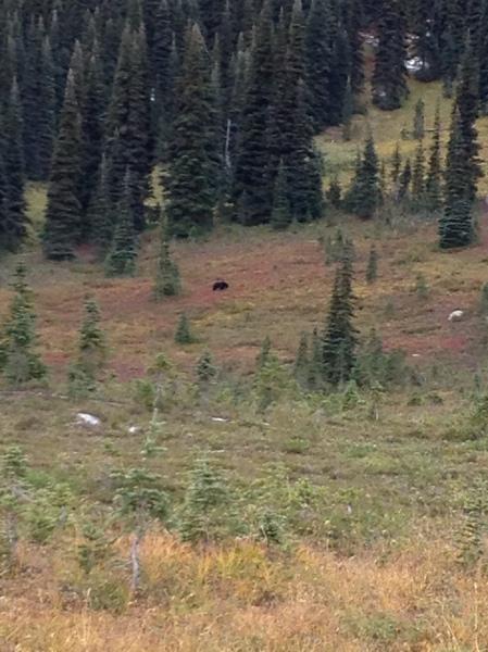 A black bear in Taylor Meadows, Garibaldi Provincial Park, BC, Canada