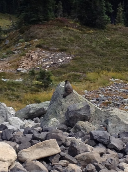 A marmot along the trail to Black Tusk, Garibaldi Provincial Park, BC, Canada