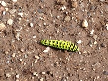 Black Swallowtail Caterpillar, Garibaldi Provincial Park, BC, Canada