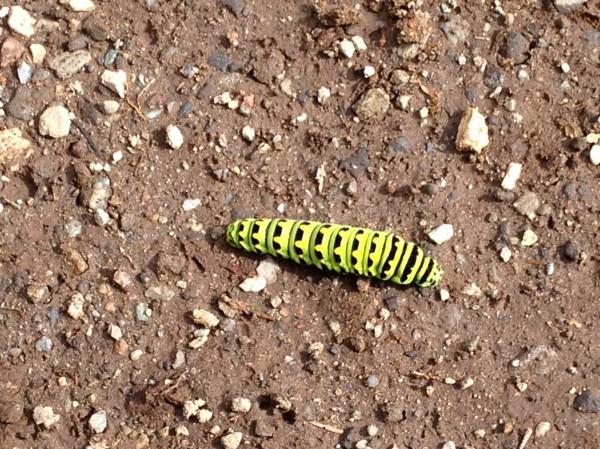 Caterpillar, Garibaldi Provincial Park, BC, Canada