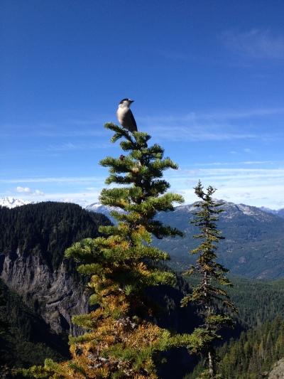 Gray Jay, Garibaldi Provincial Park, BC, Canada