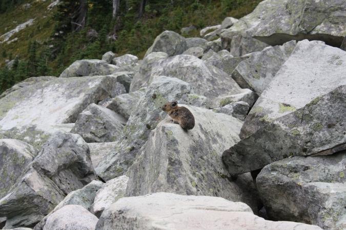 Pika, Whistler Mountain, BC, Canada