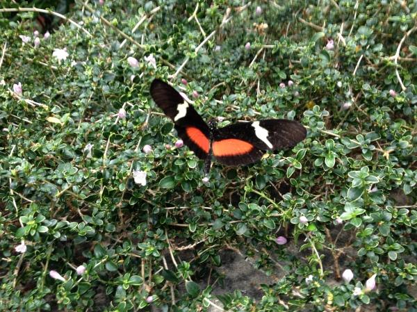 Butterfly, Moody Gardens, TX