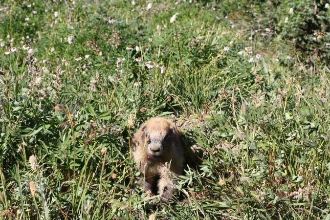 A marmot near  Hurricane Ridge, Olympic National Park, WA