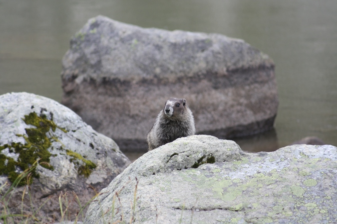A marmot near Harmony Lake, Whistler Mountain, BC, Canada