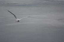 Seagull, Strait of San Juan de Fuca, Lopez Island, WA