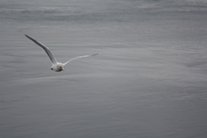 A seagull flying over the Strait of San Juan de Fuca, Lopez Island, WA