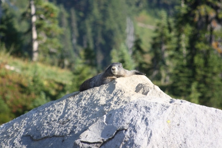 A marmot checking me out, Mount Rainier National Park, WA