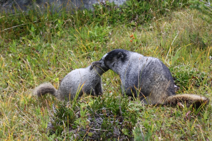 Two marmots greeting each other near Harmony Lake, Whistler Mountain, BC, Canada