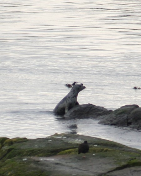 A harbor seal viewed from Shark Reef Sanctuary, Lopez Island, WA