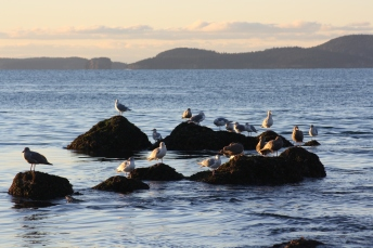 Seagulls, Deception Pass State Park, WA