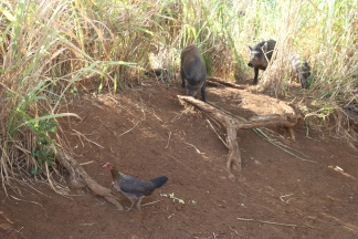 A chicken and two pigs at the top of Wailua Falls