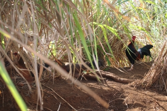 Chickens at the top of Wailua Falls