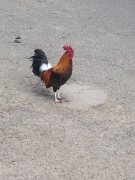 Kauai chicken