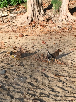 Ke'e Beach chickens