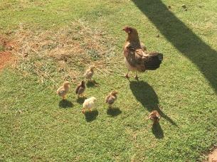 Lydgate Beach chicks